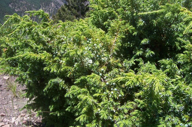 Common-Juniper_Juniperus-communis