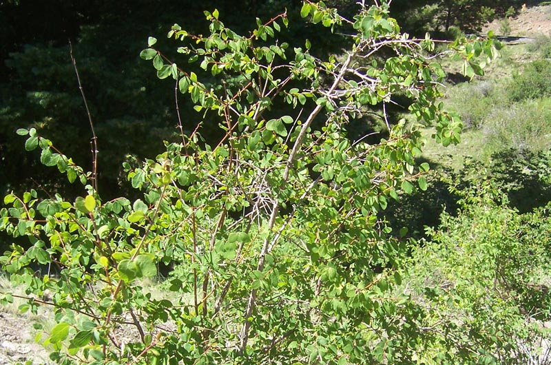 Mountain-Snowberry_Symphoricarpos-oreophilus