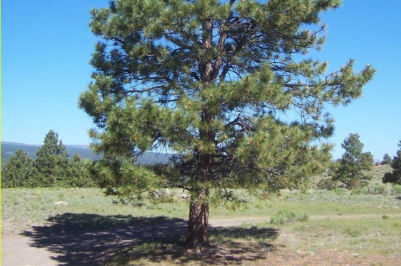 Ponderosa-Pine_Pinus-ponderosa