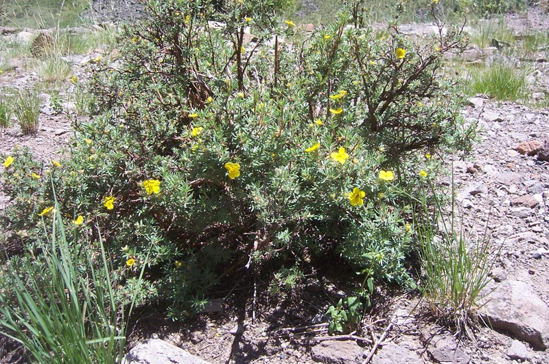 Shrubby-Cinquefoil_Dasiphora-floribunda