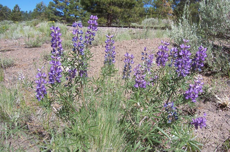 Silvery-Lupine_Lupinus-argenteus