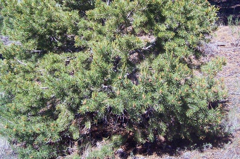 Twoneedle-Pinyon_Pinus-edulis