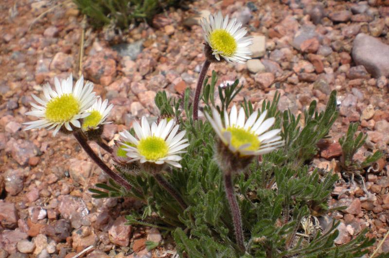 botany-slideshow-fleabane