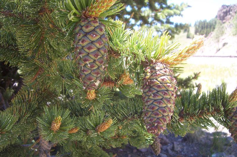 bristlecone-pine-pinus-aristata